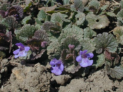ground_ivy1.jpg