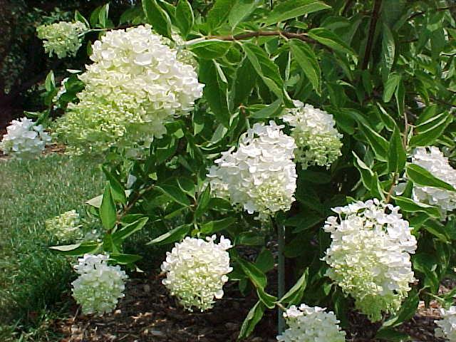 hydrangea_paniculata_grandiflora.jpg