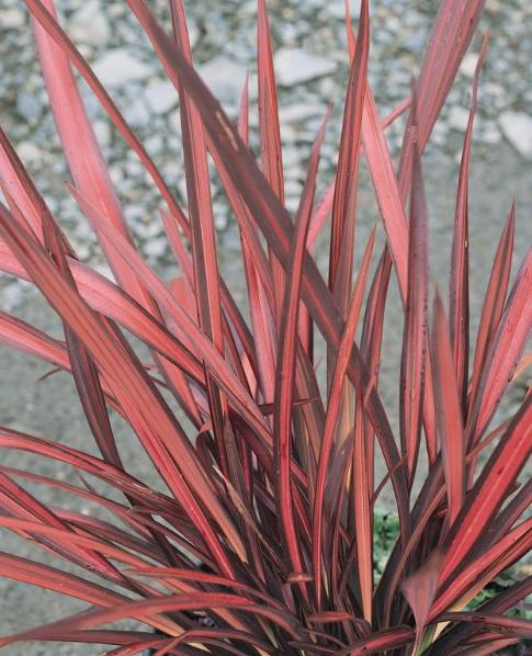 phormium_evening_glow-red.jpg
