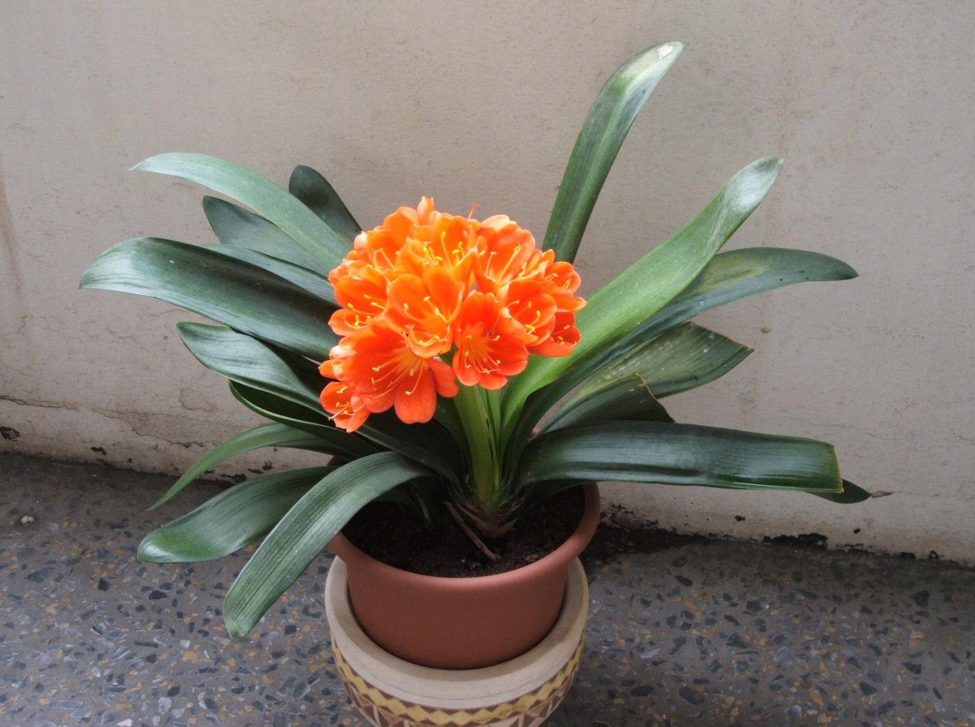 Комнатные цветы кливия фото