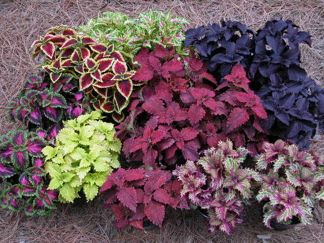the colours of coleus tribalmystic stories. Black Bedroom Furniture Sets. Home Design Ideas