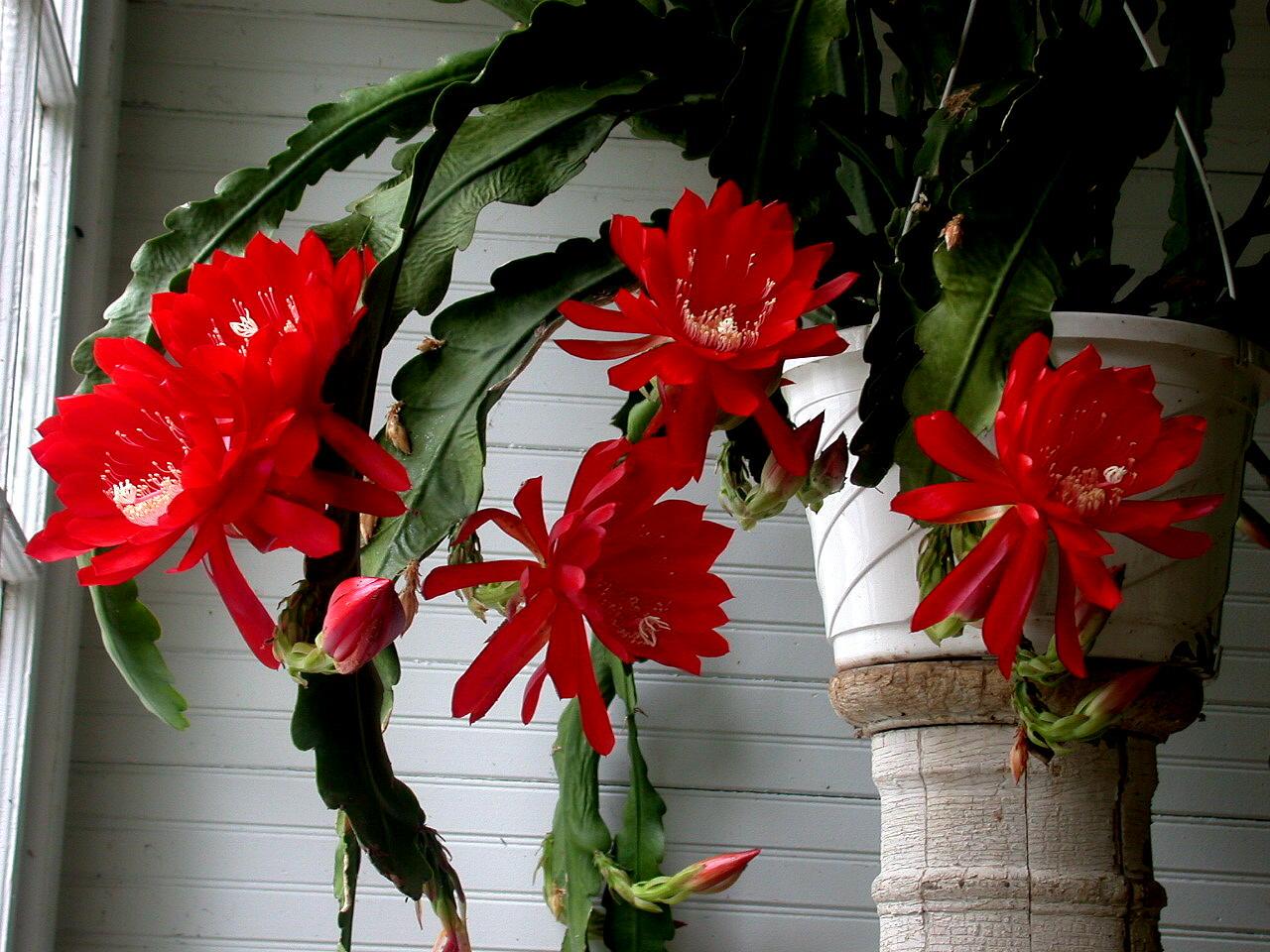 Комнатные цветы тещин язык фото