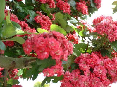 crataegus_paul_scarlet_058715000_1857_020220081.jpg