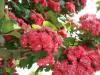 crataegus_paul_scarlet_058715000_1857_02022008.jpg