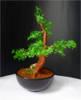 bonsai-2b.jpg
