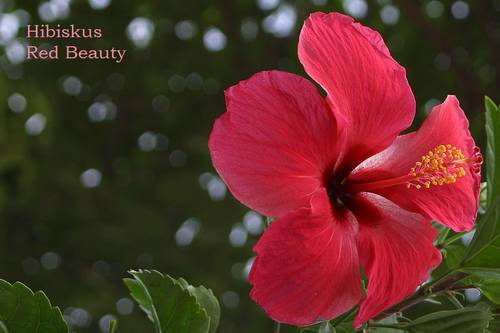 02_Hibiskus_Red_Beauty_.jpg