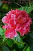 01_Hibiskus_double_pink_.jpg