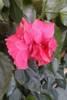 01_Hibiskus_double_pink_2.JPG
