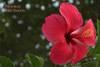 02_Hibiskus_Red_Beauty_.jpg