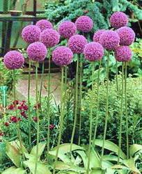Allium_ampeloprasum.jpg