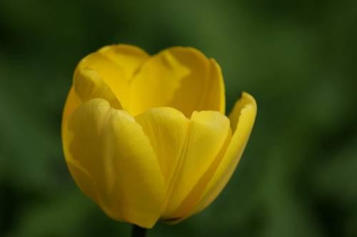 tulip-367442_960_720.jpg