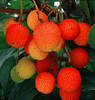 qgodovo_dyrvo_arbutus_unedo_strawberry_tree_1731_1_223_1_.jpeg